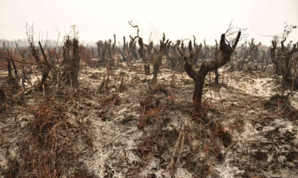 Trees after a peatland fire on the outskirts of Palangkaraya city, Central Kalimantan