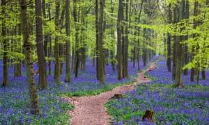 Chemin à travers une forêt de jacinthes