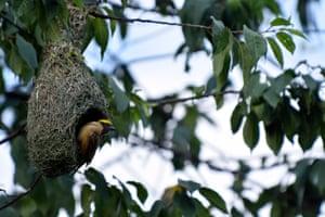 Baya weaver (Ploceus philippinus) building its nest at Kirtipur, Kathmandu, Nepal.