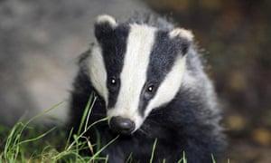 A badger photographed at close range.