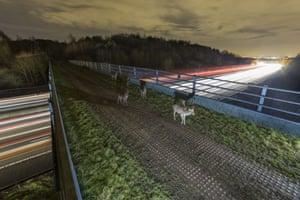 Fallow deer cross a bridge over the M25 motorway during rush hour traffic, Epping, Britain