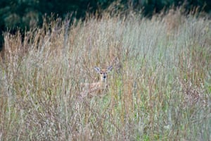 White-tailed deer (Odocoileus virginianus), standing in tall grass, US.
