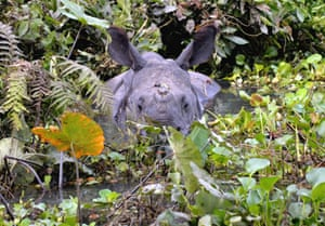 A one-horned rhino during floods in Kaziranga national park near Guwahati, Assam