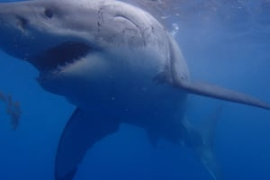 A great white shark manages to poke its head through a supposedly a shark proof cage in Guadalupe, Mexico