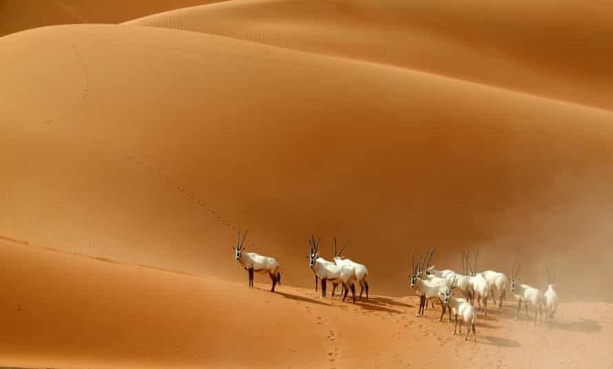 Arabian Oryx at a sanctuary in Umm Al-Zamool in the UAE
