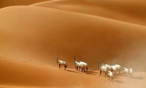 Arabian Oryx are at risk of extinction