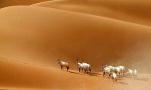 Arabian oryx at a sanctuary in Umm Al-Zamool, UAE