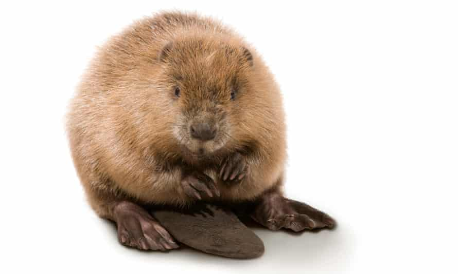 Have kit, will travel … Supporters say beaver power could be employed on river headwaters to protect Britain's built-upon floodplains.