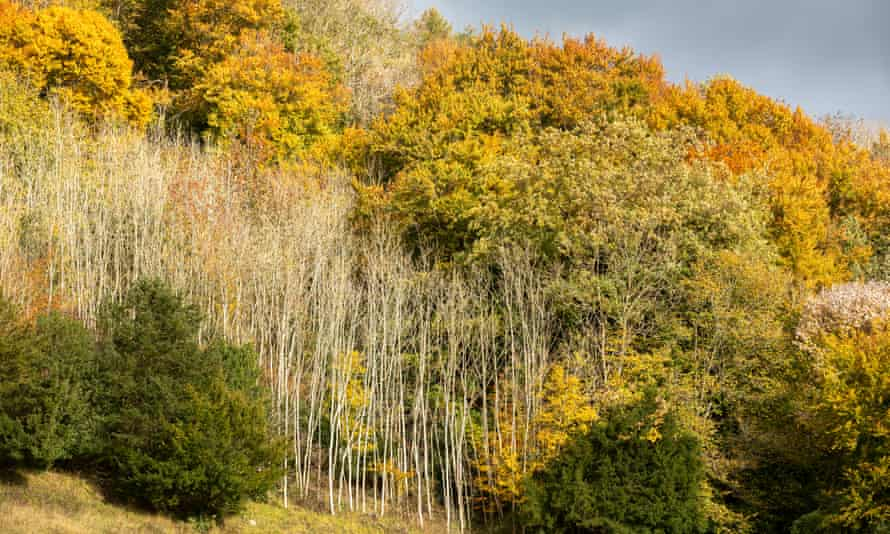 Dying ash trees