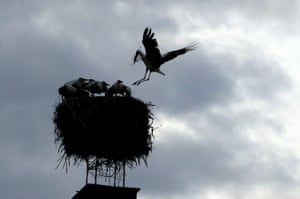 Cvikov, Czech RepublicA white stork brings branches to its nest on a chimney in the town of Cvikov.