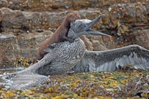 An American mink attacks a juvenile gannet