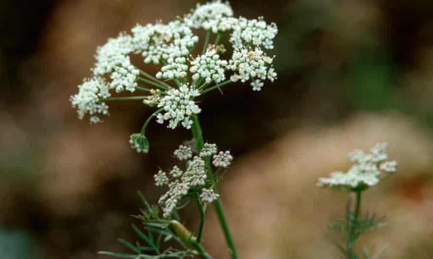 Baltic parsley (Cenolophium denudatum)