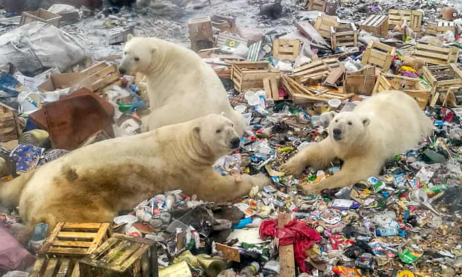Polar bears foraging in a rubbish dump near the village of Belushya Guba, Novaya Zemlya