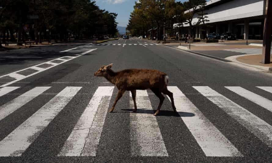 A deer walks across a pedestrian crossing in Nara, Japan, where they are free to roam and regarded as a national treasure.