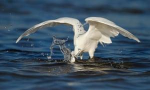 An egret catches a fish