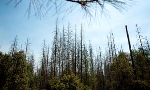 Dead trees line a clearing in the Stanislaus national forest in California, on 22 July 2018.