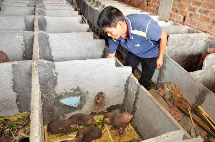 A farmer checks on bamboo rats at his farm in Ganfeng village, Luocheng.