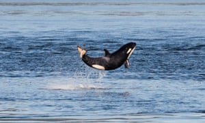 A baby orca leaps out of the waters of Haro Strait between islands in British Columbia and Washington.