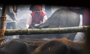 A Hindu devotee prepares to slaughter a buffalo.