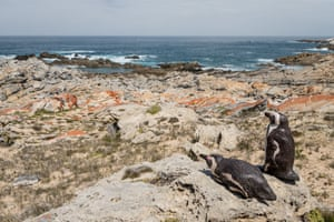 Concrete models of African penguins in De Hoop nature reserve, South Africa, intended to attract penguins to nest