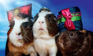 From Bloomsbury's A Guinea Pig Nativity