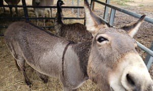 When a rescue group tried to put Jack in with the other donkeys and Diane with the other emu, they were crying and pacing around.