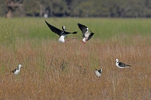 Quarrelsome black-winged stilts fight for feeding territory