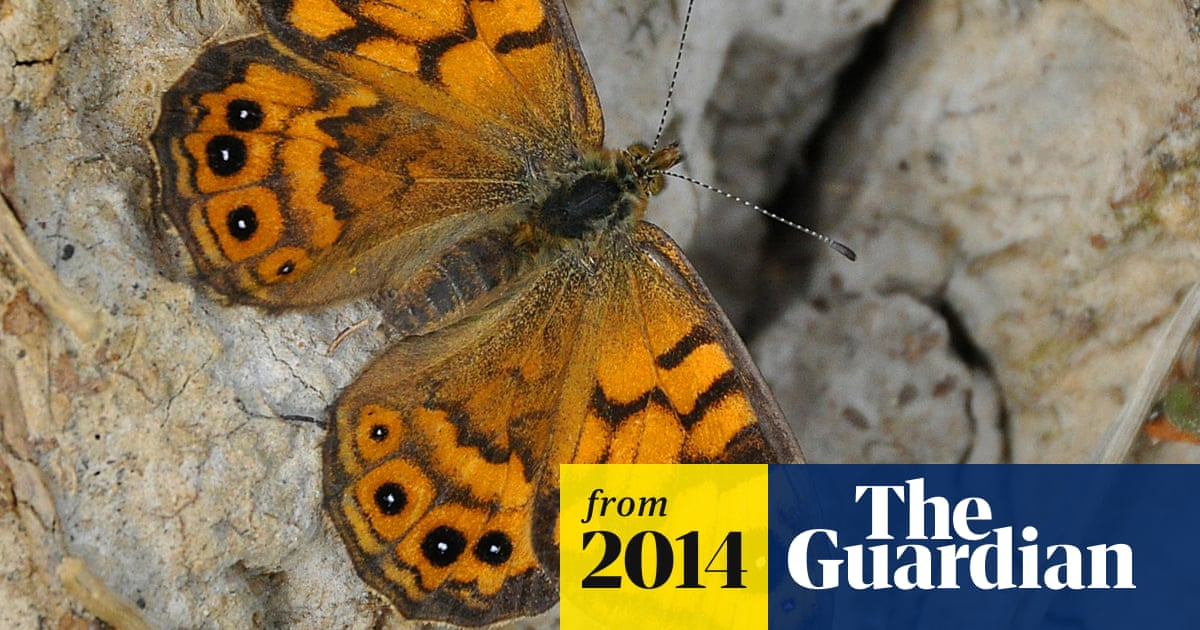 Wall Brown Butterfly May Be A Victim Of Climate Change Butterflies The Guardian