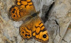 Wall brown butterfly (Lasiommata megera)