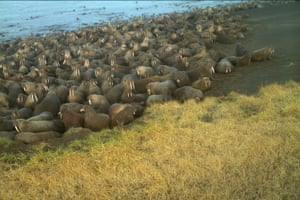 Walruses on a beach near the village of Point Lay, Alaska. The US Fish and Wildlife Service found 64 dead walruses on the north-west Alaskan coastline and said the animals may have been killed in stampedes.
