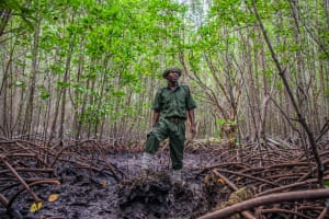 Shaban Mwinji, a community scout ranger, stands in a restored mangrove forest in Ukunda, Kenya. The Mikoko Pamoja community-led mangrove conservation and restoration project is the world's first blue carbon project. It aims to provide long-term incentives for mangrove protection and restoration through community involvement and benefit.