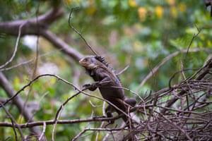 A Lesser Antillean iguana (Iguana delicatissima).