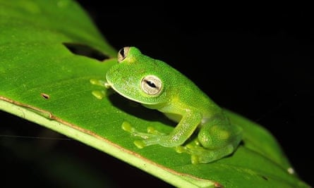 Why Glass Frogs Have See Through Skin Becomes Clear In Study Biology The Guardian