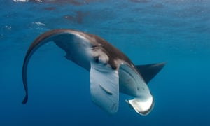 Manta rays pass the mirror self-recognition test developed as a way to determine whether a non-human animal has the ability to recognise themselves