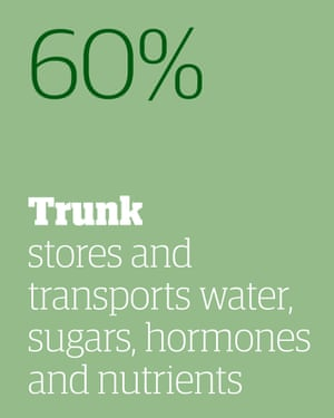 60% - the trunk stores and transports water, sugars, hormones and nutrients