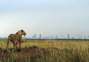 A young lion looks towards the skyline in Nairobi national park. Kenya's oldest national park faces threats of habitat loss, a decline in wildlife species and government infrastructure developments. According to National Geographic, 200,000 lions roamed across Africa a century ago. Today, there are less than 30,000