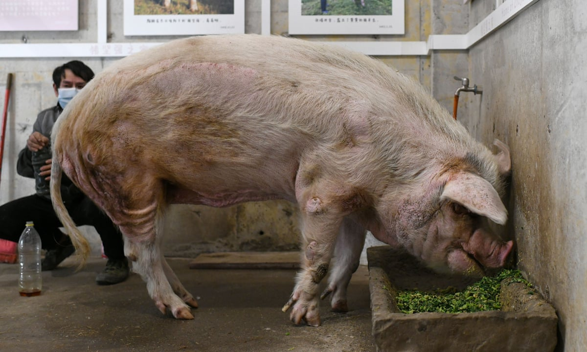 China mourns passing of acclaimed pig that survived 2008 quake | China |  The Guardian