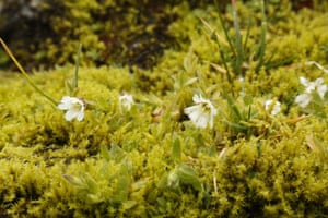 New populations of white-flowered Arctic mouse-ear were found, a plant native to Greenland, Iceland and Norway.
