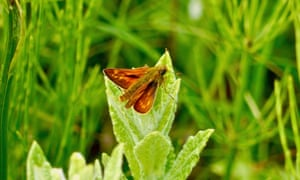 A large skipper butterfly.