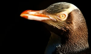 a hoiho, or yellow-eyed penguin