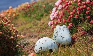 A guillemot egg at Noup Head RSPB reserver, Westray, Orkney.
