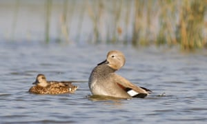 Two gadwalls on water