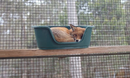 A fox sleeping