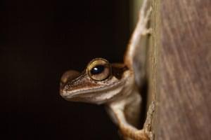 Dark eared Tree Frog, Borneo.