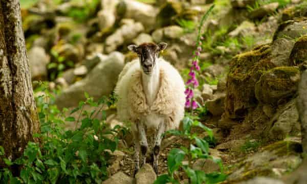 A sheep on Abergwesyn common