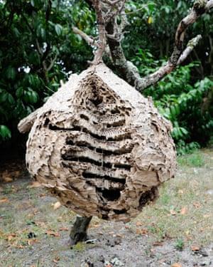 An asian hornets' nest