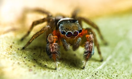 This new species of jumping spider is one of more than 50 new species of spider discovered by scientists in a 10-day trip to Cape York last month.