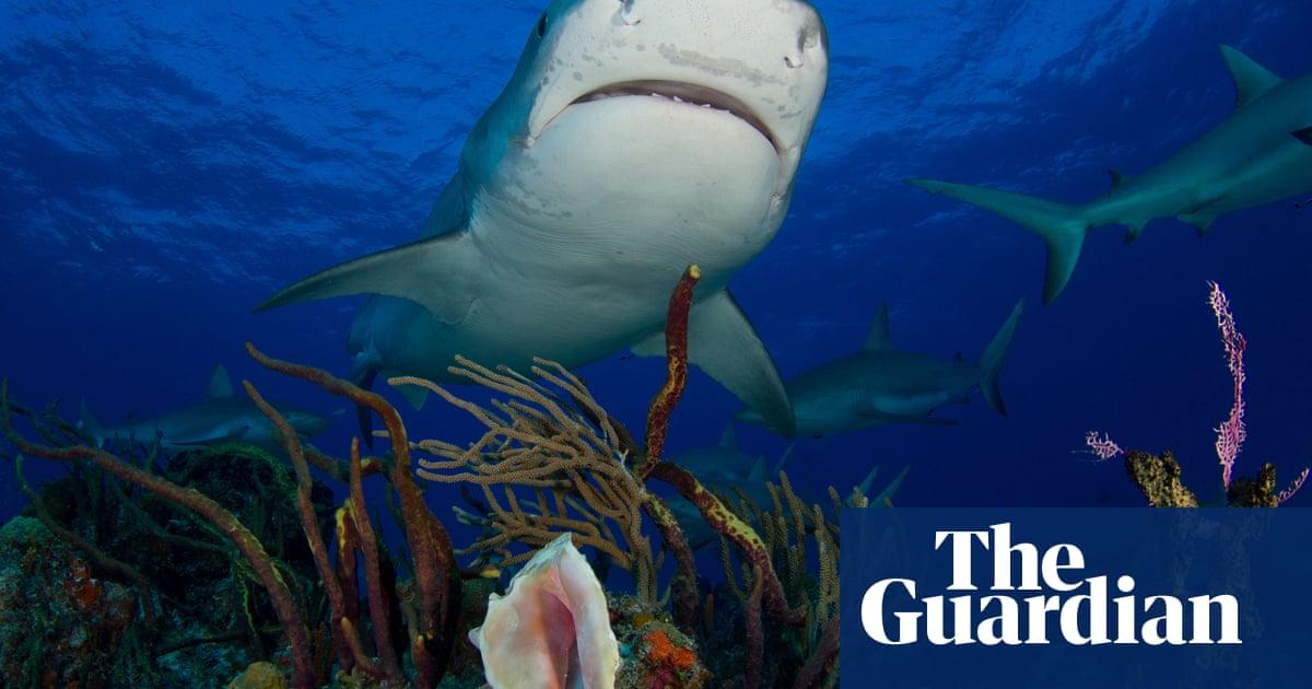 Always a bigger fish: Florida scientists seek new angle on shark depredation