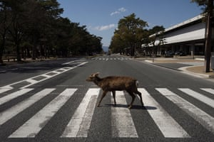 A deer walks across a pedestrian crossing in Nara, the ancient capital city of Japan, where more than 1,000 of the animals roam free. A local deer protection group says they are doing well without 'treats' from tourists, who are staying away during the coronavirus pandemic.