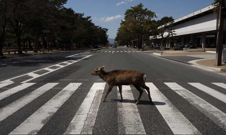 A deer walks across a pedestrian crossing in Nara, Japan. More than 1000 deer roam free in the ancient capital.